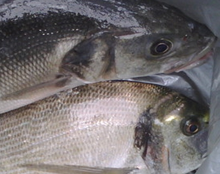 Sea Bass / Bream